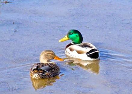 Duckpair2