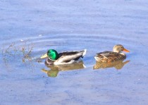 Duckpair3
