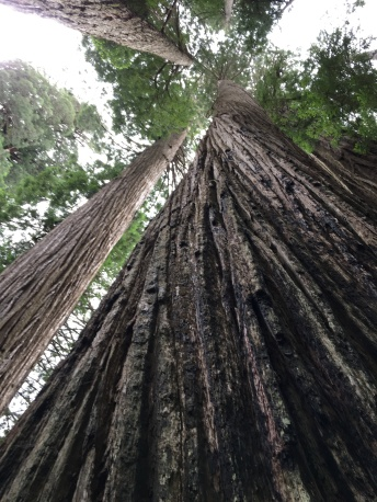 Aged Redwoods, Northern California