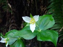 Trillium in the dark forest