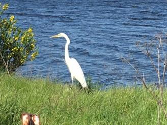 Egret near SF Bay