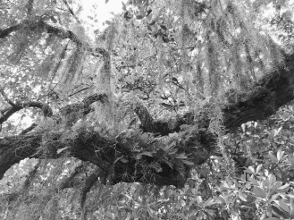 Epiphytics on old oak