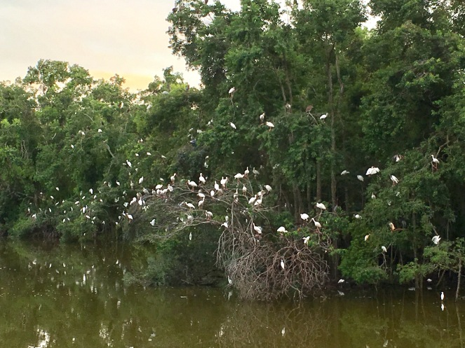 Hundreds of Roosting Egrets