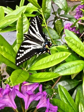 Yon butterfly