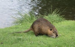 We've seen up to three muskrats on the stream