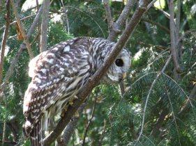 Barred owl neighbor