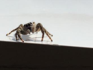 Eye light (curious jumping spider)