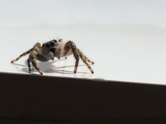 Eye light (curious jumping spider)