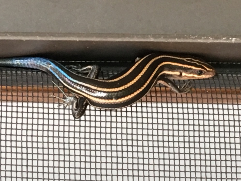 Tail light (skink)